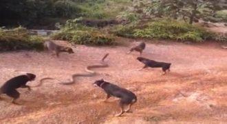 Σπάνια μάχη: 5 σκύλοι εναντίον τεράστιου φιδιού [βίντεο]