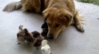Ο σκύλος του βρήκε 10 μικρά κοτοπουλάκια στην αυλή. Η αντίδραση του σκύλου σίγουρα θα σας φτιάξει την διάθεση!