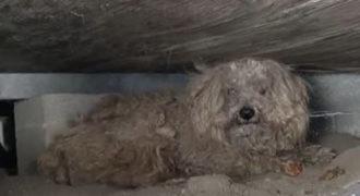 Όταν πέθανε ο ιδιοκτήτης του ο σκύλος αυτός έμεινε για 1 χρόνο μόνος και ξεχασμένος μέχρι που… (βίντεο)