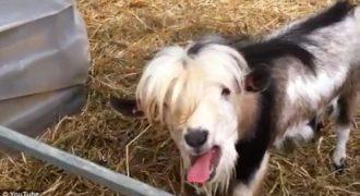 Κατσίκα μιμείται την κότα για να την ταΐσουν (Βίντεο)