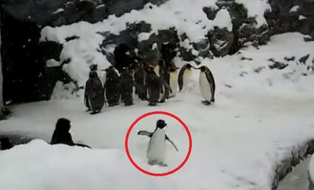 piguin