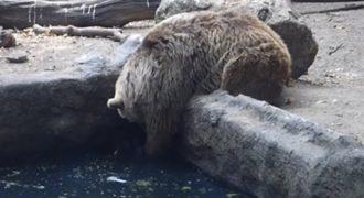 Αρκούδα σώζει κοράκι από βέβαιο πνιγμό! (video)
