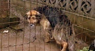 Ένας γέρικος σκύλος, αλυσοδεμένος για 10 χρόνια, ζει τις τελευταίες του μέρες ελεύθερος (Video)