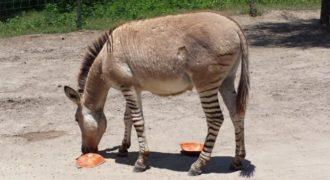 Zonkey: Μισός ζέβρα και μισός γάιδαρος