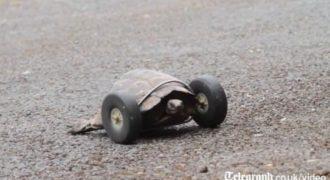 Μετά από επίθεση από αρουραίο αυτή η χελώνα έχασε τα 2 μπροστινά της πόδια! Αλλά τώρα μπορεί να απολαύσει την ζωή ξανά! (video)