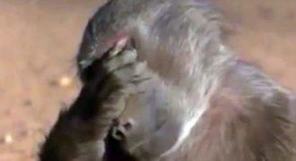 Άγρια ζώα καταναλώνουν φρούτα που περιέχουν αλκοόλ και… μεθούν! Δείτε τις μεθυσμένες … αντιδράσεις τους!