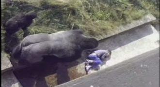Όταν ένας γορίλας προστάτεψε 5χρονο αγοράκι που έπεσε μέσα στον «χώρο» του σε ζωολογικό κήπο (VIDEO)