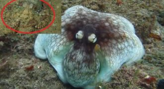 Ένα Χταπόδι με Απίστευτο καμουφλάζ στο βυθό (Βίντεο)