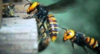 """30 """"Σφήκες της Κολάσεως"""" κατασπαράζουν 30.000 μέλισσες!"""
