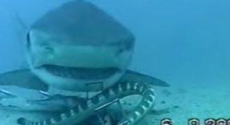 Η μάχη ενός φιδιού με καρχαρία στο βυθό της θάλασσας