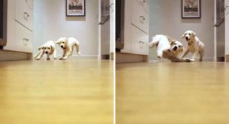 Timelapse βίντεο! Δύο κουτάβια τρέχουν προς το φαγητό τους (11 εβδομάδων έως 11 μηνών)