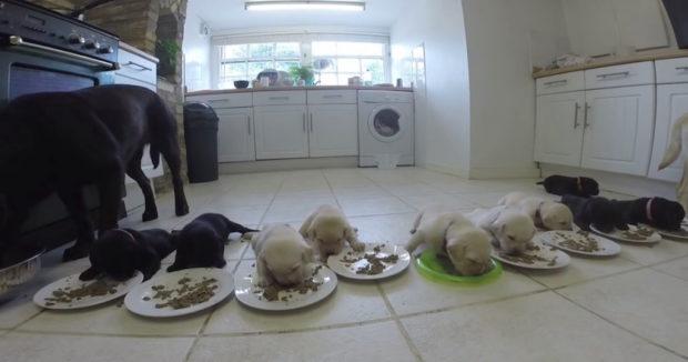 Labrador-Puppies-weaning