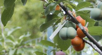 Δένδρο που βγάζει πάνω από 40 διαφορετικά φρούτα (Video)