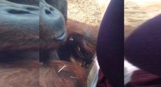 Ουρακοτάγκος φιλά την κοιλιά μιας εγκύου και τρελαίνει το διαδίκτυο!