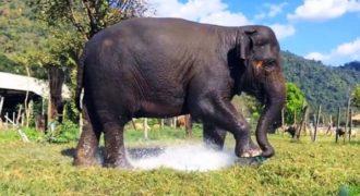 Ελέφαντας πατάει πάνω στο ποτιστικό και το σπάει. Η αντίδρασή του ανεκτίμητη!