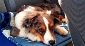 Αυτό το σκυλί κοιμάται όταν ξαφνικά του βάζουν το αγαπημένο του τραγούδι. Η αντίδρασή του; Ξεκαρδιστική!
