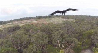 Η φοβερή επίθεση ενός αϊτού σε ιπτάμενη κάμερα (drone), που το πέρασε για πουλί!