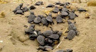Νεογέννητες χελώνες καρέτα καρέτα σε ένα υπέροχο βίντεο!