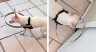 Χάρη σε αυτή την εφεύρεση, το τυφλό σκυλάκι θα περπατάει με ασφάλεια!