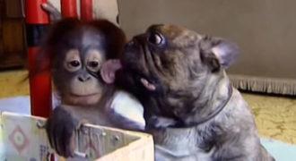 Μια υπέροχη φιλία ανάμεσα σε έναν ουρακοτάγκο και ένα Bulldog!