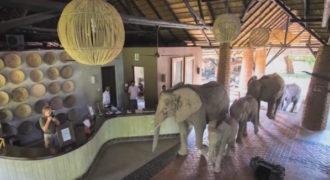 Αυτοί οι άγριοι ελέφαντες περπατούν αυτή τη διαδρομή μία φορά το χρόνο. Δείτε γιατί!
