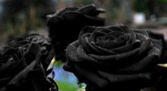 Tο χωριό όπου φυτρώνουν τα σπάνια μαύρα τριαντάφυλλα!