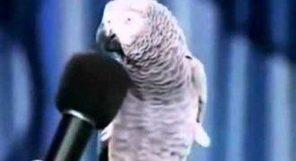 Ίσως ο πιο ευφυείς παπαγάλος στον κόσμο! Μιμείται με απίστευτη ομοιότητα όλα τα ζώα!
