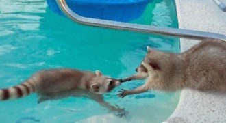 Αυτό το ρακούν θέλει απεγνωσμένα να βγει ο αδερφός του από την πισίνα!