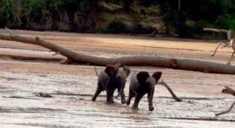 Δύο ελεφαντάκια ξαναβρίσκουν τη χαμένη μαμά τους! Δείτε την αντίδρασή τους!