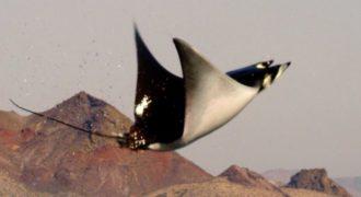 Ιπτάμενα σαλάχια … κι όμως υπάρχει ένα είδος και είναι από τα πιο μαγευτικά θεάματα