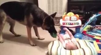 O γερμανικός ποιμενικός δεν έχει ξαναδεί μωρό. Δείτε τι συμβαίνει όταν συναντιούνται!