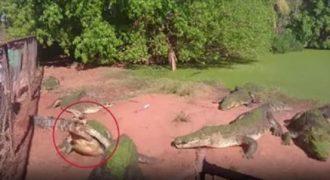 Κροκόδειλος την στιγμή της σίτισης τρώει το πόδι ενός άλλου κροκόδειλου. (Βίντεο)