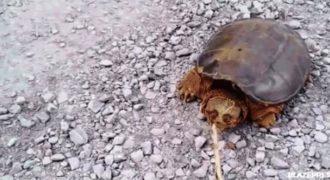 Μετά από αυτό το βίντεο δεν θα ξανά πειράξετε τις χελώνες. Αυτός ο τύπος δείτε τι έπαθε…