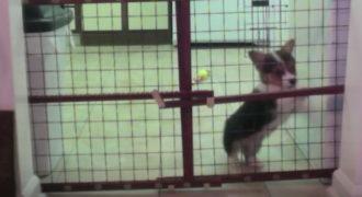 Έβαλε κάμερα για να δει επιτέλους πώς δραπετεύει το μικρό σκυλάκι Corgi