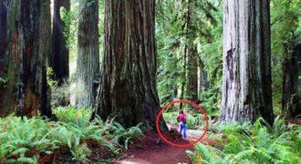 Ανακάλυψε το δάσος με τους μεγαλύτερους κορμούς στον πλανήτη