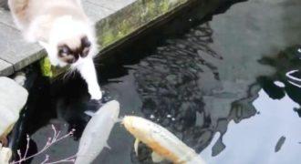 Ο γάτος αυτός δίνει φιλάκια σε… ψάρια!