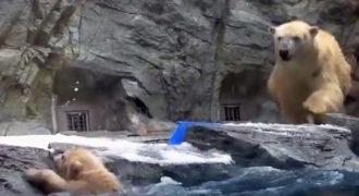 Το αρκουδάκι πέφτει στο νερό και δεν μπορεί να κολυμπήσει. Δείτε την αντίδραση της μαμάς αρκούδας!