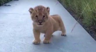 Η πρώτη κραυγή αυτού του μικρού λιονταριού είναι ό,τι πιο χαριτωμένο θα δείτε σήμερα!