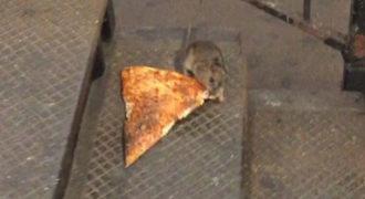 O αρουραίος αρπάζει το κομμάτι πίτσα και το βάζει στα πόδια! Ο παλιοκλέφτης!
