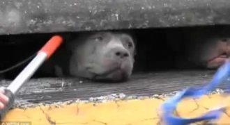 Δεν μπορείτε να φανταστείτε τι συνέβη σε αυτό το pitbull [Βίντεο]
