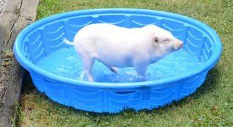 Τρισευτυχισμένο γουρουνάκι πλατσουρίζει σε παιδική πισίνα και χαρίζει χαμόγελα!