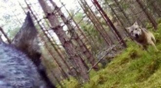 Κάμερα καταγράφει τη σοκαριστική μάχη ενός σκύλου με δύο λύκους.