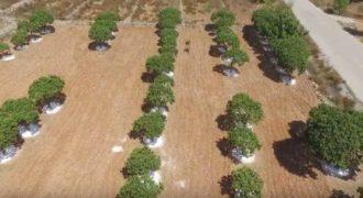 Μαστιχόδενδρο της Χίου: Το δέντρο που φυτρώνει μόνο στη Χιο σε ένα μοναδικό βίντεο από ψηλά!
