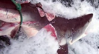 Τρομερό: Αυτό το πλάσμα δάγκωσε και έκοψε στα δύο λευκό καρχαρία (video)