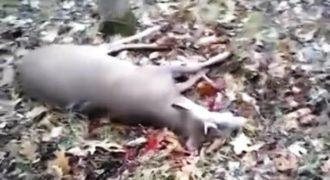 Συγκλονιστικό βίντεο: Ελάφι… κάνει το νεκρό για να γλιτώσει από κυνηγό! (Βίντεο)