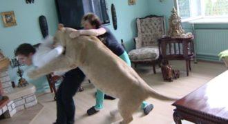 ΣΟΚ:Λιοντάρι τον έφαγε μπροστά στην μάνα του![Video]