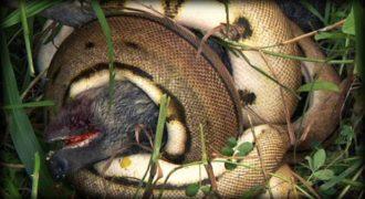 Απίστευτο: Πύθωνας καταπίνει γουρουνόπουλο (Βίντεο)