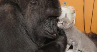 Γορίλας υιοθετεί μικρά γατάκια και ζουν όλοι μαζί (Βίντεο)