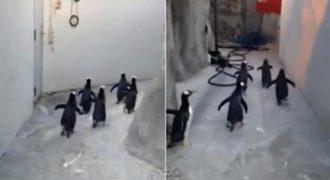 Πιγκουίνοι προσπαθούν να ξεφύγουν από τον ζωολογικό κήπο…. Είχαν σχέδιο… (Βίντεο)