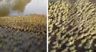 Έχετε δει ποτέ 5.000 παπάκια να τρέχουν να μπουν στην λίμνη; Εκπληκτικό! (Βίντεο)